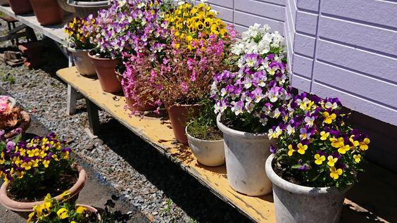 奥尻島の満開のお花達